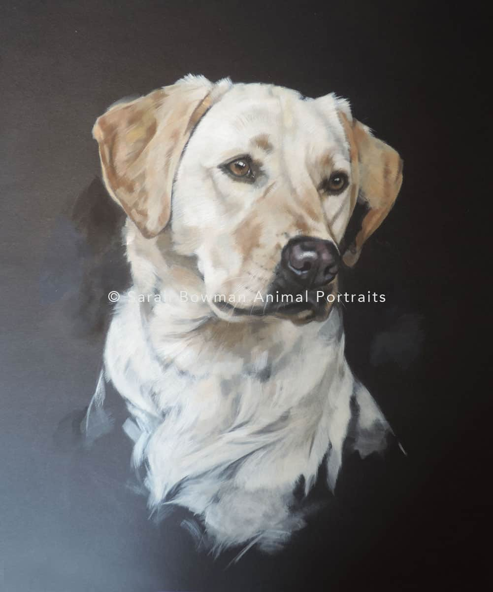 animal portrait of labrador retriever