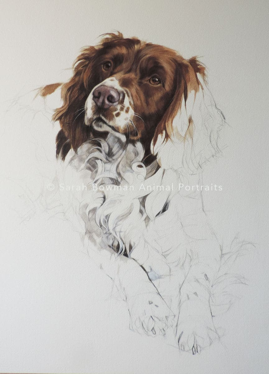 Unfinished Spaniel dog portrait