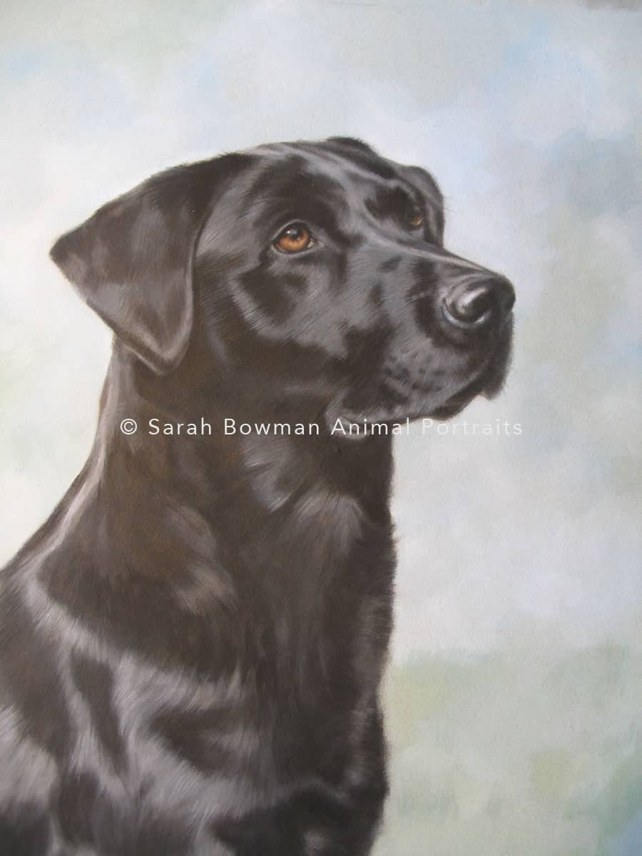 black labrador retriever animal portrait