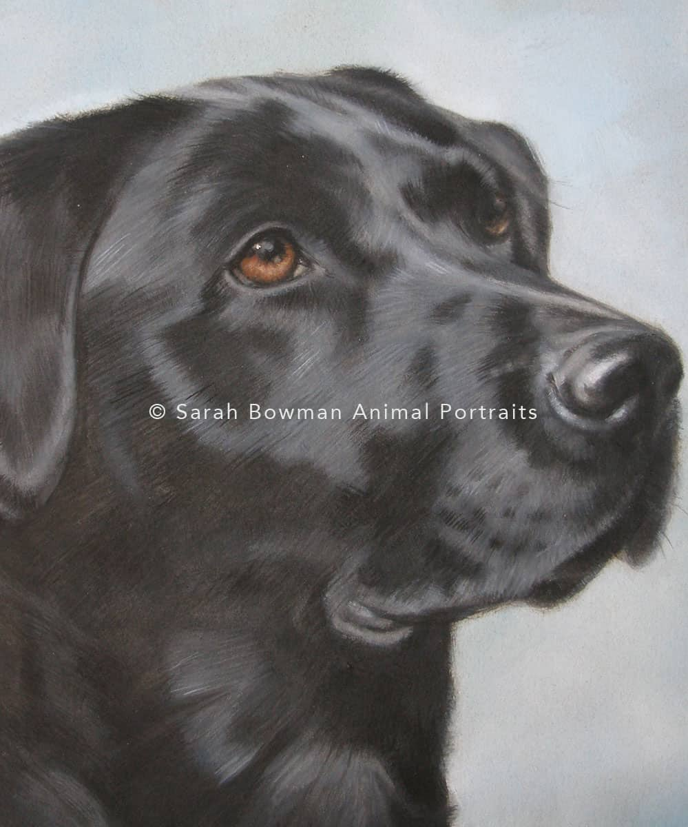 Detail of black labrador retriever animal portrait